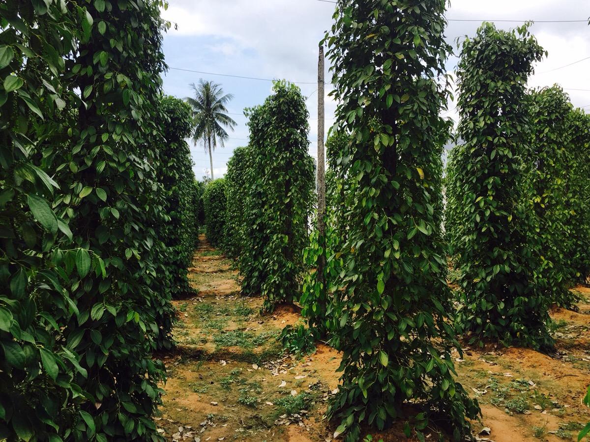 ベトナム フーコック島 胡椒農園