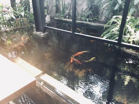 池の中で鯉が泳ぐ様子