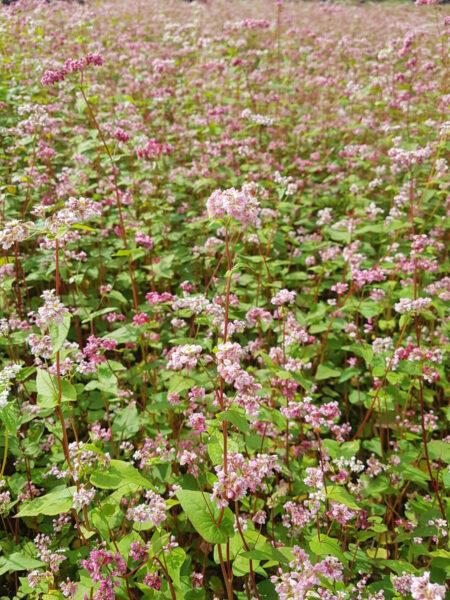 ベトナム北部そばの花