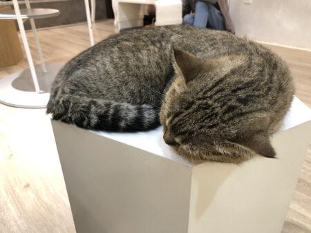 台の上で眠るグレーの猫