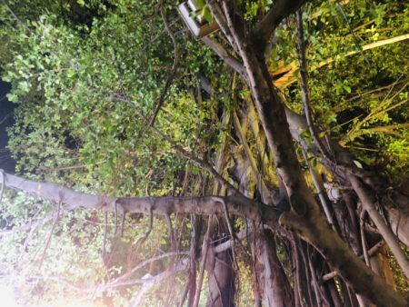 ユーミェンガーデンカフェの中にある大きな木